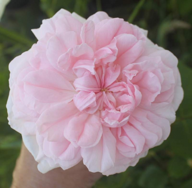 Pretty-pink-rose