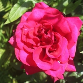 Scented-red-rose