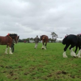 Heavy-horses4