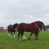 Heavy-horses5