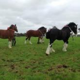 Heavy-horses3